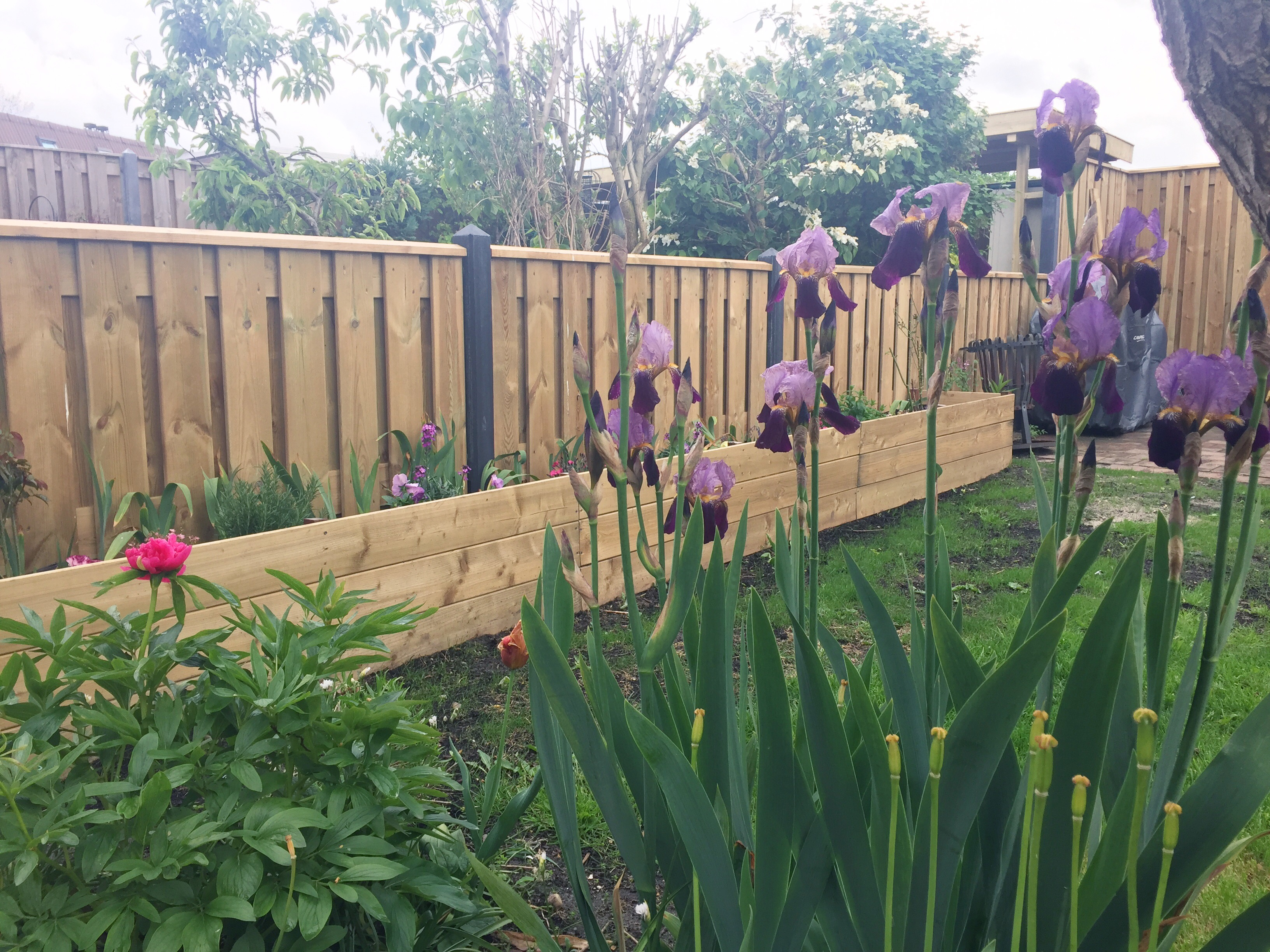 Irises blooming in the garden